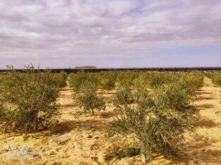 """اراضى زراعية للببع فى واحة الغروب والجمال """"سيوة"""""""
